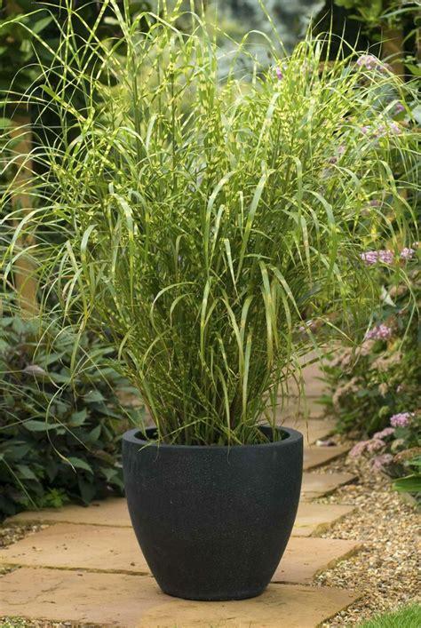 miscanthus sinensis gold breeze hot house pinterest metals gold and pots