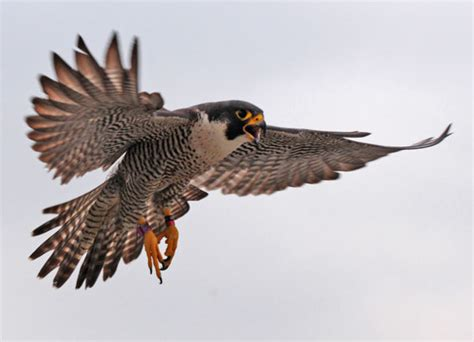 dnr history of peregrine falcon efforts in indiana
