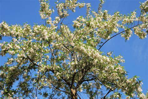 imagenes de flores y arboles fotos de flores 193 rboles y flores de las acacias