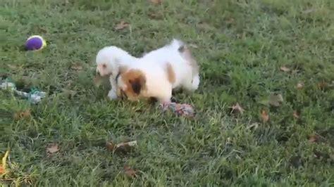 havashu puppies for sale havashu puppies for sale