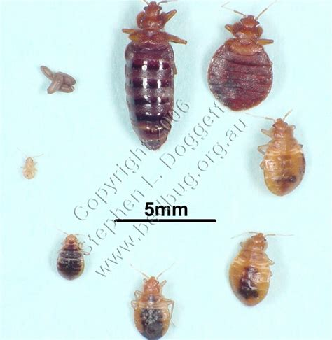 what does baby bed bugs look like bed bugs look like