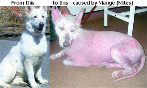 how to tell if a puppy will hair hair loss how can i tell if my has sarcoptic mange follixin stop hair loss
