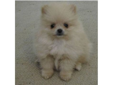 pom pom puppies for sale pom puppies for sale johannesburg puppies for sale