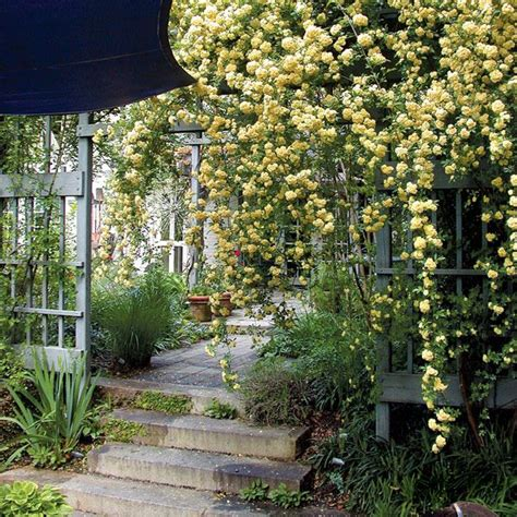 plants that drape 17 best images about banks roses on gardens iron gates and yellow roses