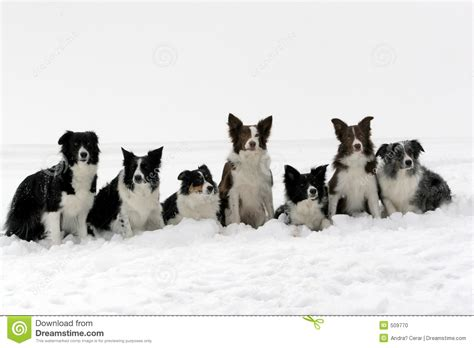 border collie puppies idaho border collies pack stock photo image 509770