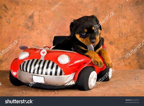 rottweiler in car rottweiler puppy car stock photo 52310737
