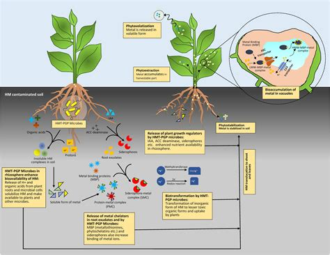 Detoxing Contaminated Soil by Frontiers Alleviation Of Heavy Metal Stress In Plants
