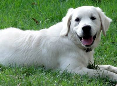 golden retriever puppies new orleans golden retriever puppies and american golden retriever puppies by golden