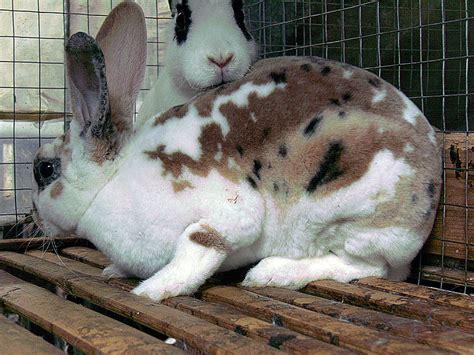 Makanan Pakan Pellet Kelinci Rabbit Food Ravit Diet 600gr november 2009 kelinci perkelincian rabbit rabbitry