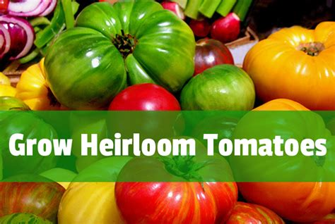 best tomato varieties to grow the best heirloom tomatoes to grow espoma