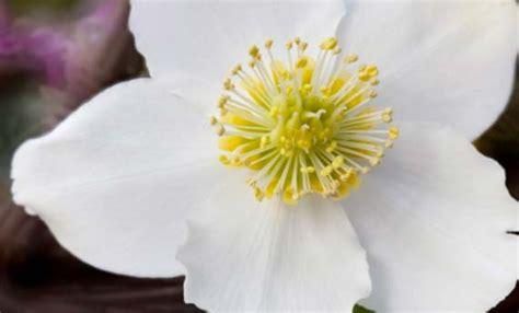 rosa di natale in vaso elleboro la rosa di natale da coltivare in vaso