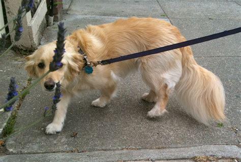 small golden retriever mix of the day greta the golden retriever poodle mix the dogs of san francisco