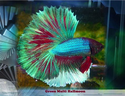 betta fish changing color betta fish is one of the most beautiful marine species