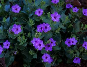 Blooming Flowers by Gallery For Gt Purple Night Blooming Flowers
