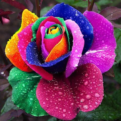 imagenes flores raras 20 sementes rosa arco iris colorida flores raras holanda