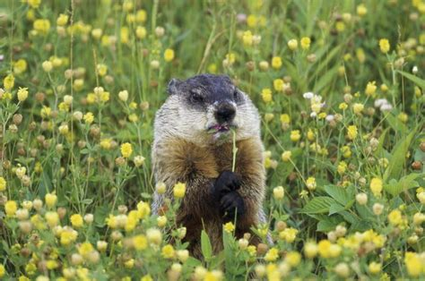 i have a groundhog in my backyard how to identify if i have moles or groundhogs in my yard
