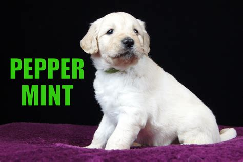 goldendoodle puppy carolina goldendoodle puppies for sale in carolina