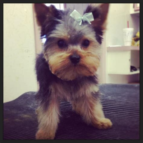 first yorkie hair cuts 25 best ideas about toy yorkie on pinterest yorkie