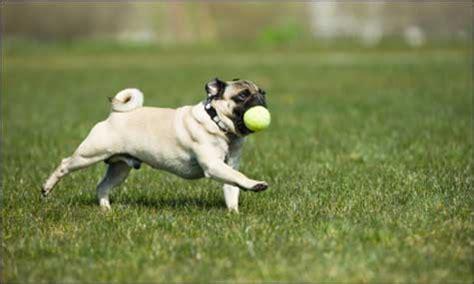 pug exercise why your needs exercise