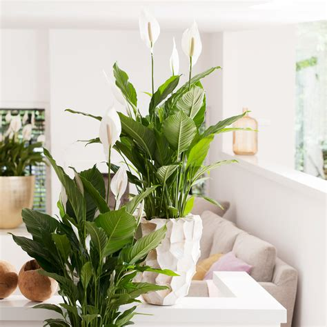 zimmerpflanzen gross f 252 r eine gesunde atmosph 228 re garten center meier