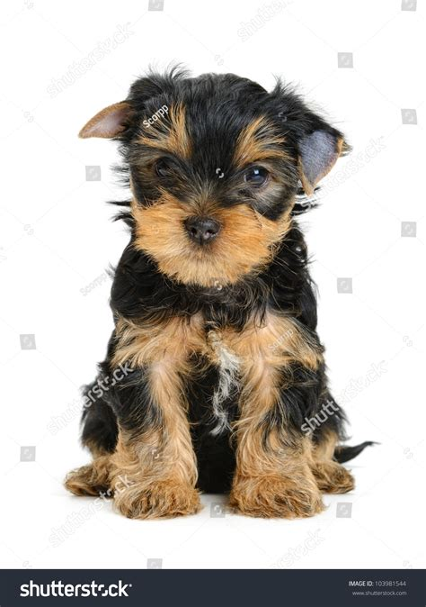 pictures of yorkies at different ages yorkie puppy pictures and ages yorkie puppies at different ages yorkie photos at