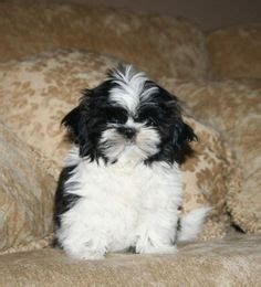 shih tzu breeders edmonton shih tzu puppies havanese shih tzu cross puppies for sale in edmonton alberta