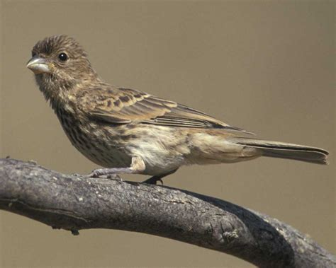 house finch juvenile house finch juvenile www pixshark com images galleries