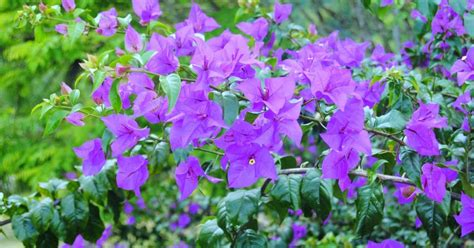 Bros Bunga Putih Ungu bunga kertas ungu ungu sekali naqiya aiko