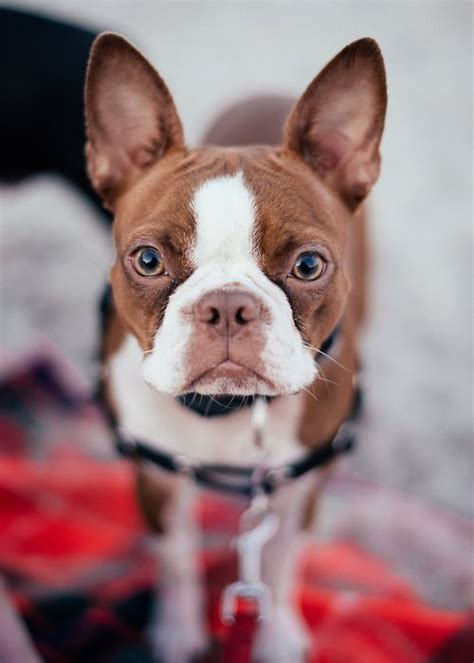 brown boston terrier puppies best 25 boston terrier puppies ideas on boston terrier boston terrier