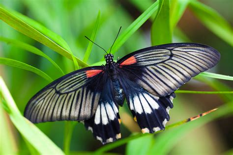 red and black butterflies black white red butterfly free stock photo public domain