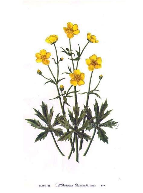 buttercup flower tattoo designs buttercup print buttercup ranunculus acris vintage 1955