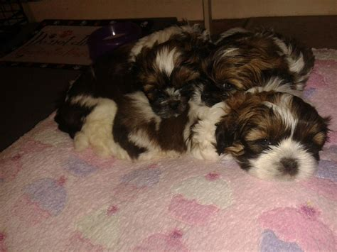shih tzu puppies for sale in hertfordshire shih tzu puppies 250 posted 4 months ago for sale dogs shih tzu two breeds picture
