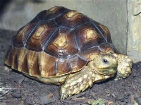 Yang Mini Filter Tortoise Kura Kura Tipe Yang Yp 001 sulcata tortoise image result for http animal