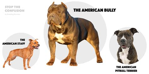 american bully american staffordshire terrier vs pitbull difference www pixshark images