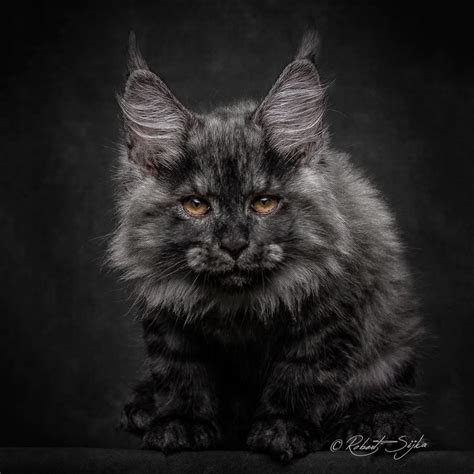 Katzenklo Maine Coon by Capturing The Of Maine Coon Cats With Cats