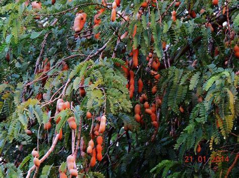 tamarind tree fruit tamarind tree tropical fruits