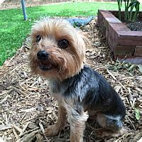 yorkie rescue mississippi leesburg fl yorkie terrier mix meet princie a for adoption