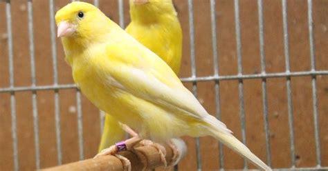 Jual Pakan Burung Import ohh begini toh cara membedakan kenari jantan dan betina