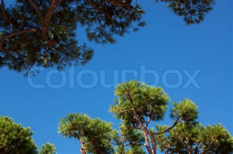 coniferous tree branches against the sky stock photo