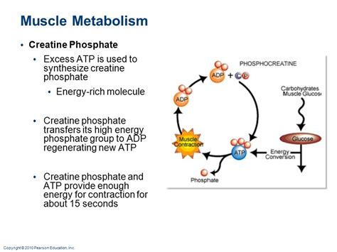 creatine phosphate muscles part i h biology ii adapted ppt