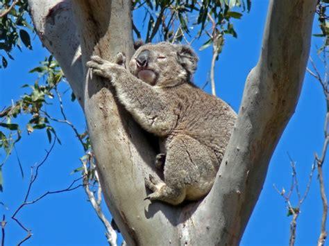 koala schlaf australien adelaide auf der great road nach
