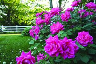 knockout roses colors knockout roses my guide