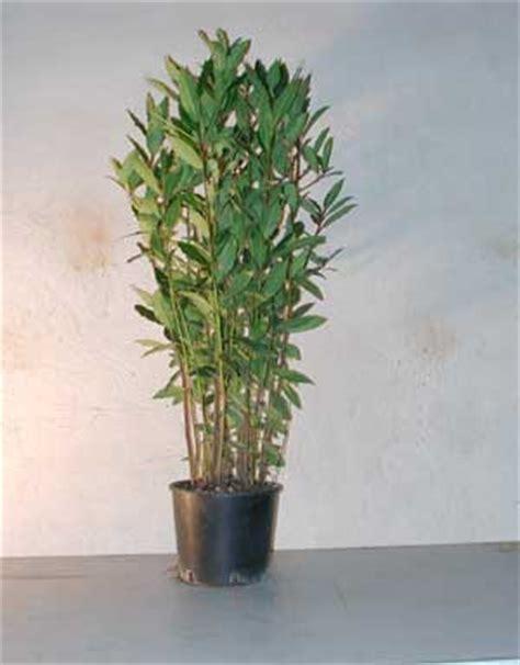 pitosforo in vaso pitosforo ideale per la siepe verdeblog