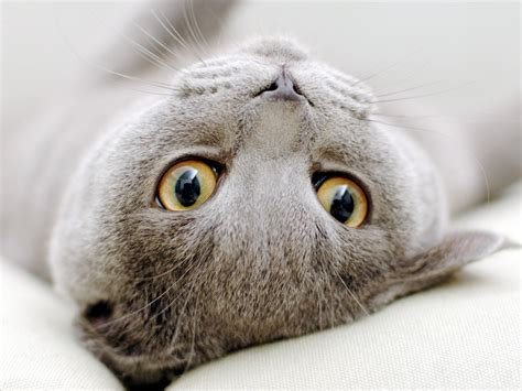 cat wallpaper grey gray scottish fold cat sprawled wallpapers and images