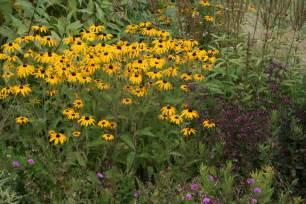 Yellow Vase Green Value Nursery Perennials Perennial Flowers Rudbeckia Fulgida Deamii