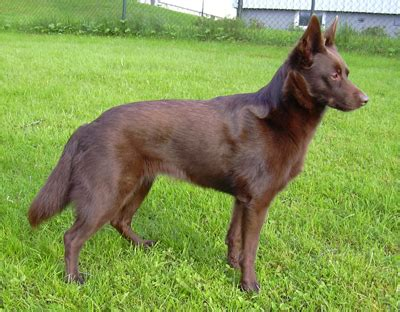 kelpie puppy australian kelpie pictures diet cycle facts habitat behavior