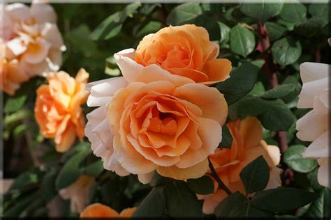 essential tips for growing roses on craftsy