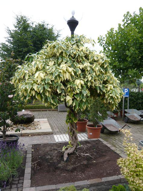ist efeu winterhart buntlaubiger kolchischer efeu dentata variegata efeu