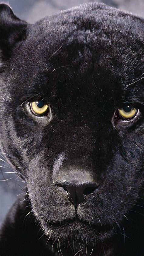 black jaguar hd wallpaper download black panther iphone wallpaper wallpaper photography hd