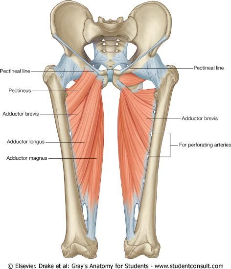 pulled groin diagram adductors learn your muscles custom pilates and